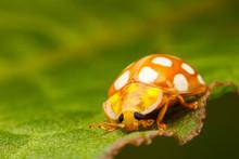 Orange Ladybird, Halyzia Sedecimguttata