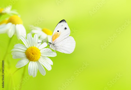 Delicate beautiful light green natural summer spring background pattern with daisies and a white butterfly macro. Light airy exquisite artistic image of nature. Gentle breath of nature.