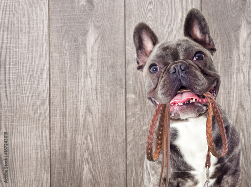 Poster Bouledogue français Portrait of a French bulldog dog And a leash in the teeth on a wooden background