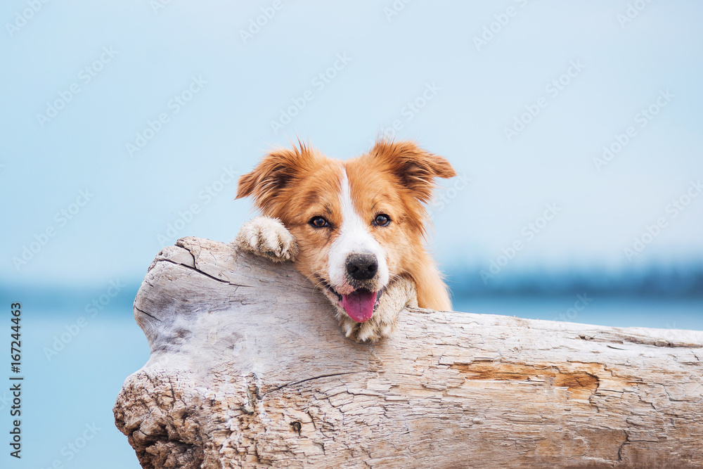 Red border collie running on a beach