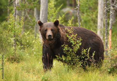 Wild brown bear (Ursus arctos)