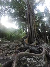 Tangled Roots Of A Tree