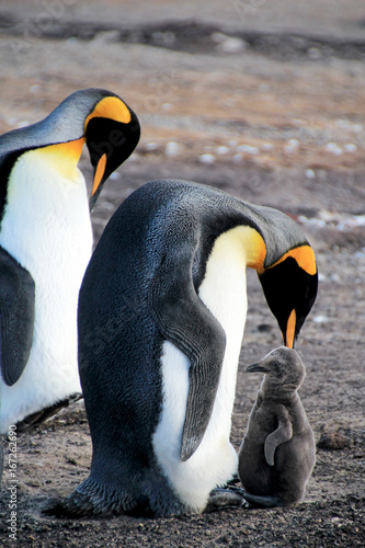 Photo King penguins with chick, aptenodytes patagonicus, Saunders Falkland Islands Mal