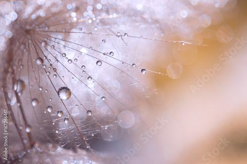 Zdjęcie XXL Makro- ziarno dandelion z wodnymi kroplami. Abstrakcjonistyczna fotografia z dandelion po deszczu. Selektywna ostrość