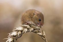 Harvest Mouse Feeding On Ear O...