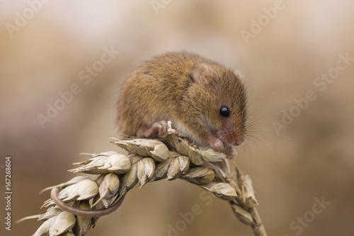 Harvest mouse feeding on ear of corn