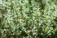 Fresh Thyme Growing In The Garden, Selective Focus