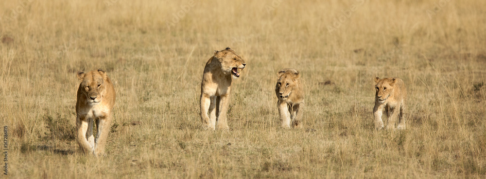 Fototapeta Four lion cubs walking