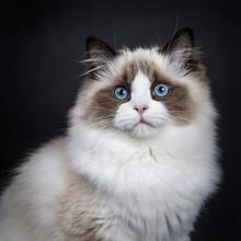Head Shot Of Young Adult Ragdoll Cat Isolated On Black Background (1)