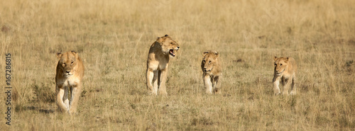 Four lion cubs walking Canvas Print