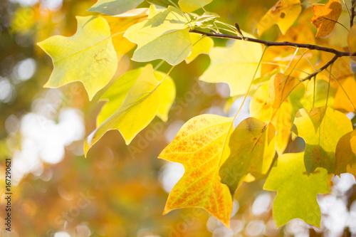 Valokuva  Tulpenbaum im Herbst
