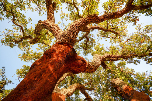 Foto auf Gartenposter Braun Harvested trunk of an old cork oak tree (Quercus suber) in evening sun, Alentejo Portugal Europe