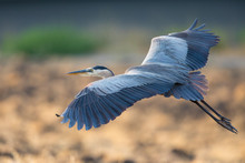 Great Blue Heron About To Land...