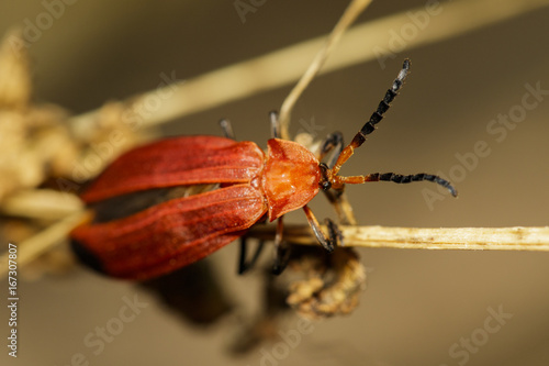 Fotografie, Obraz  Image of Euryphagus lundii (Cerambycidae) on dry branches