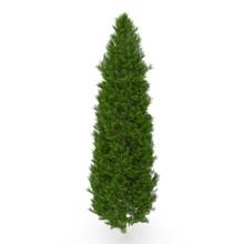 Cypress Tree On White. 3D Illu...