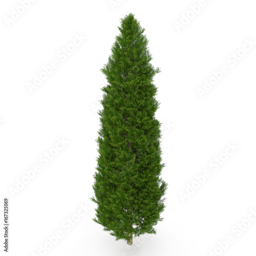 Fotografiet  Cypress Tree on white. 3D illustration