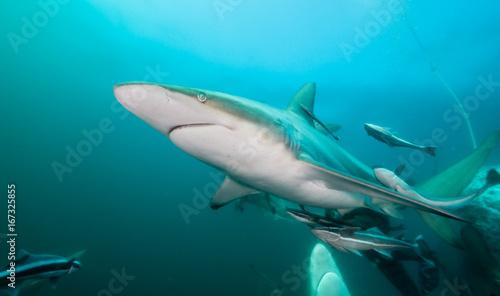 Plakat Oceaniczne czarne końcówki rekiny przy Aliwal Shoal, Południowa Afryka.