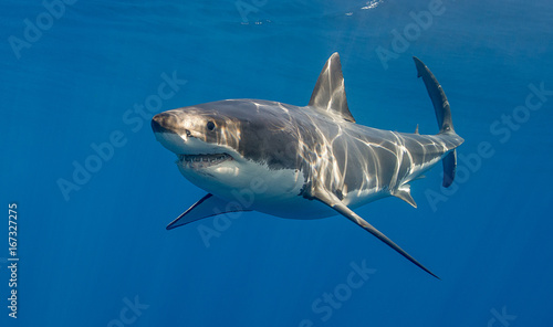 Fotografia Great white shark underwater view, Guadalupe Island, Mexico.