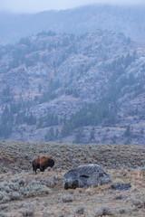 Buffalo in Snowy Yellowstone