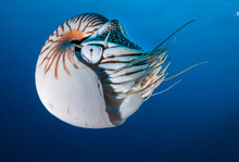 Nautilus Swimming In Blue Wate...