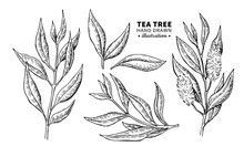 Tea Tree Vector Drawing. Isola...