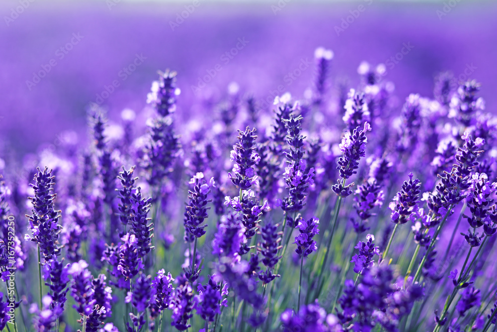 Fototapety, obrazy: close up shot of lavender flowers