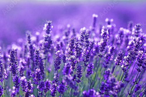 close up shot of lavender flowers Canvas Print
