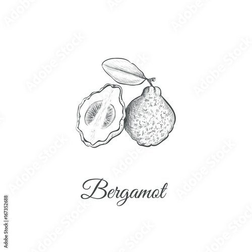 Bergamot sketch hand drawing Canvas Print