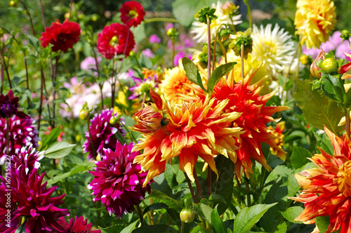 Dahlie - Dahlia flower in red and yellow