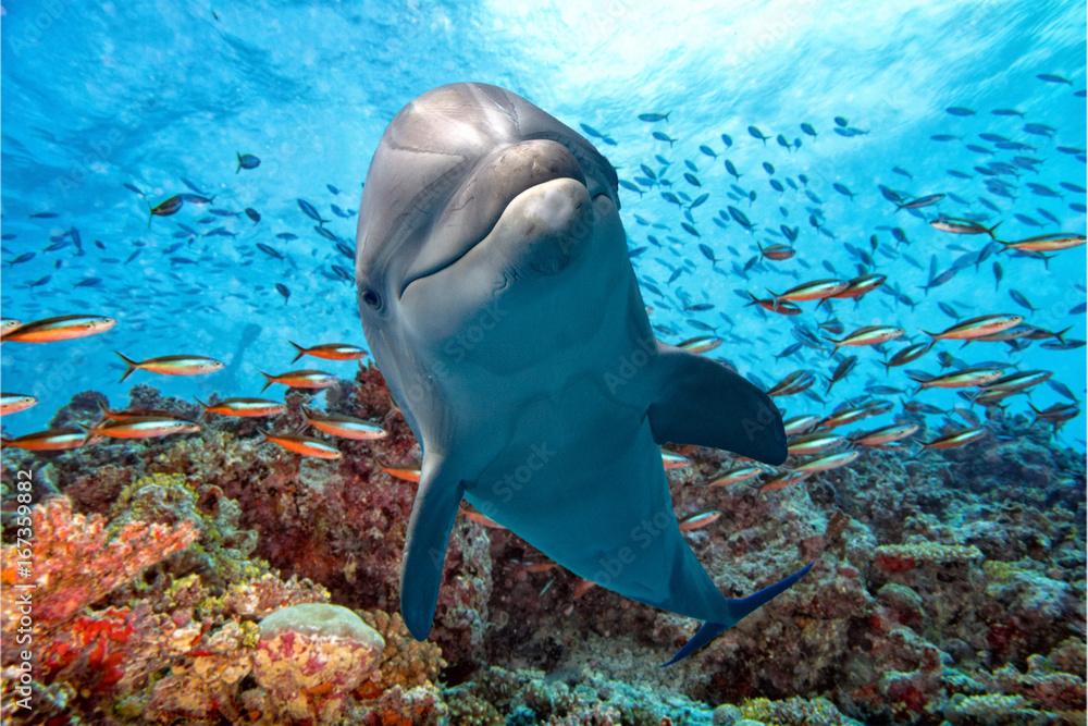 Fototapeta dolphin underwater on reef close up look