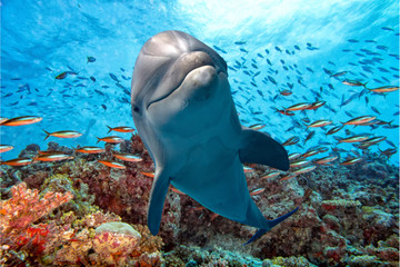 Fototapeta Delfin dolphin underwater on reef close up look