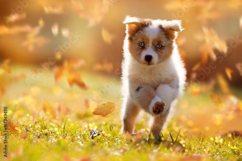 Hund, Australian Shepherd Welpe springt im Herbstlaub Fototapete