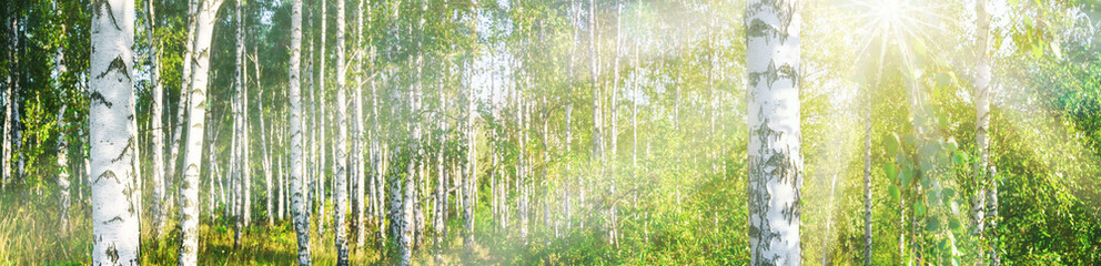 Panel SzklanyBirch grove on a sunny summer day landscape banner, huge panorama
