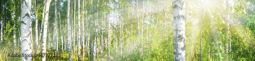 Fotobehang Bossen Birch grove on a sunny summer day landscape banner, huge panorama