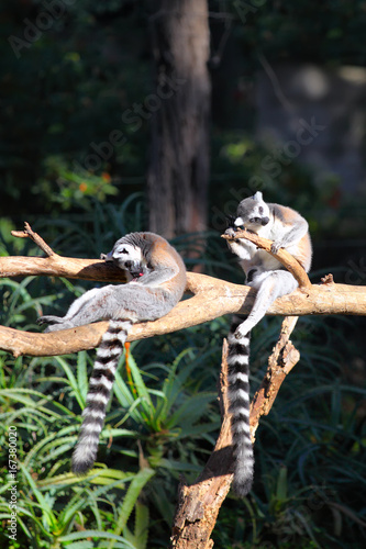 Valokuvatapetti Two Tailed lemurs  (Lemur catta) sitting on a branch