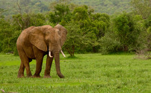 Wild Bull Elephant Grazing Alone At The Selous Game Reserve In Tanzania (Africa) During The Evening