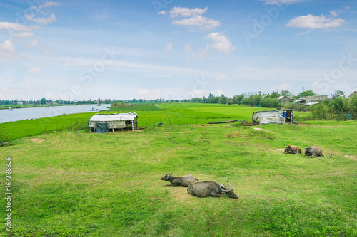 Photo  Buffalos sitting in grass field