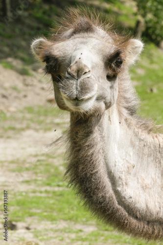 Recess Fitting Camel Kameel kijkt in de lens