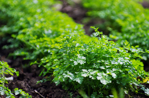 parsley in the garden