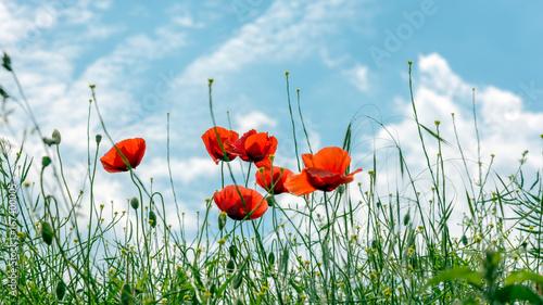 Fototapety, obrazy: Mohnblumen vor dem Himmel