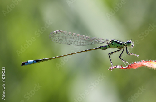 Blue-tailed Damselfly (Ischnura elegans) male resting on a leaf. Photo taken with 90 mm macrolens.