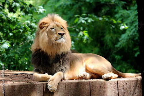 Proud Lion Laying in front of Trees