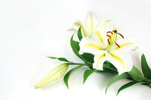 Blooming Lily Isolated On Whit...