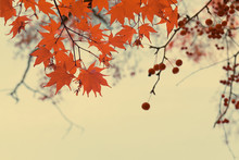 Branches With Red Fall Berries...