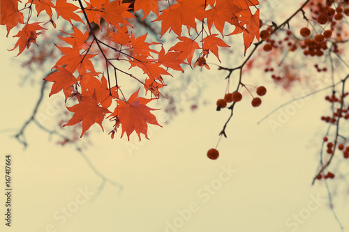 Photo Branches with red fall berries and maple leaves on blue sky background, retro to