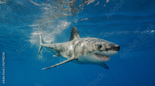 Fotografie, Obraz  Great white shark underwater view, Guadalupe island, Mexico.