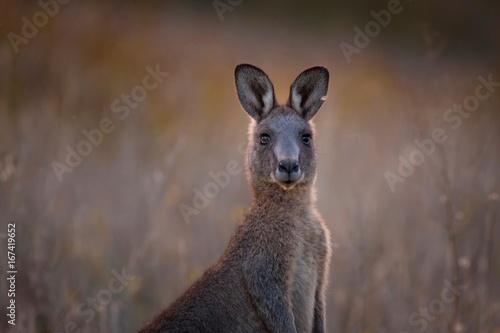 Spoed Foto op Canvas Kangoeroe Kangaroo in the Australian bush
