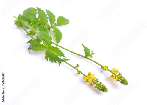 Photo Agrimonia eupatoria, agrimony, church steeples or sticklewort