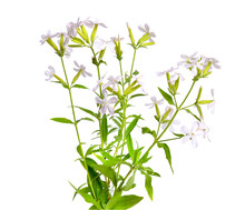 Saponaria, Commonly Known As S...