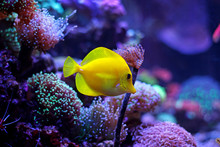 Yellow Zebrasoma Tang